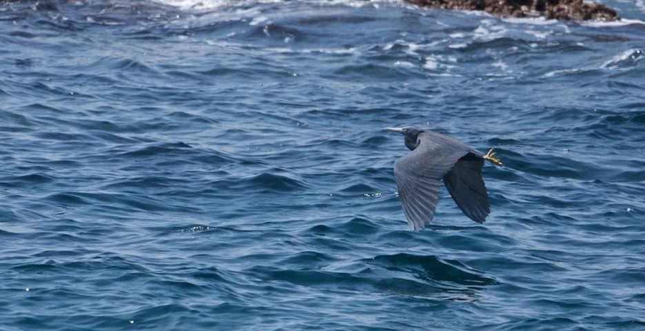 城ヶ島 バナー  沖に飛んで行くクロサギ _DSC0038.jpg