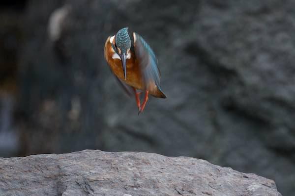 江の島 海に飛び込むカワセミ1 _DSC0454.jpg