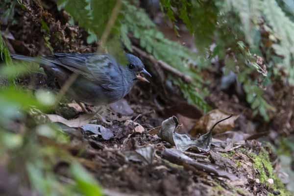 瀬上市民の森 傾斜地で採食するクロジ♂2 _DSC5464.jpg