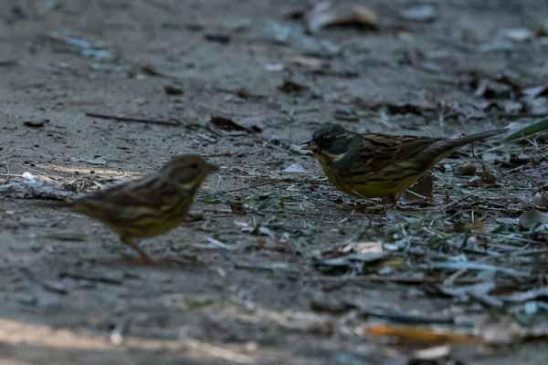 瀬上市民の森 尾根道で採食するアオジ♀♂  _DSC5138.jpg