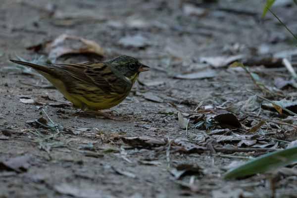瀬上市民の森 尾根道で雑草の種を食べるアオジ♂ _DSC5180.jpg