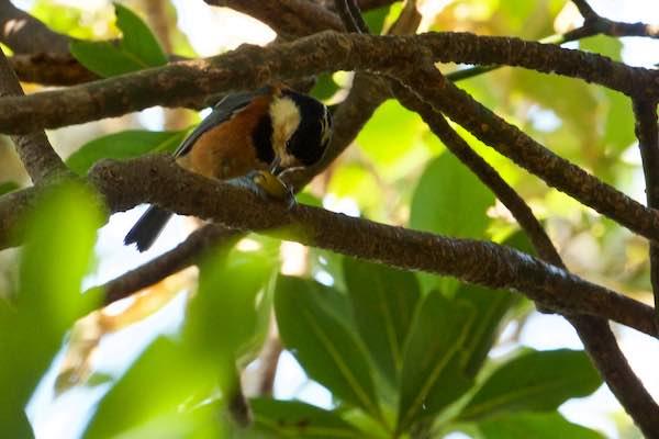 瀬上市民の森 木の実を食べるヤマガラ _DSC9749.jpg