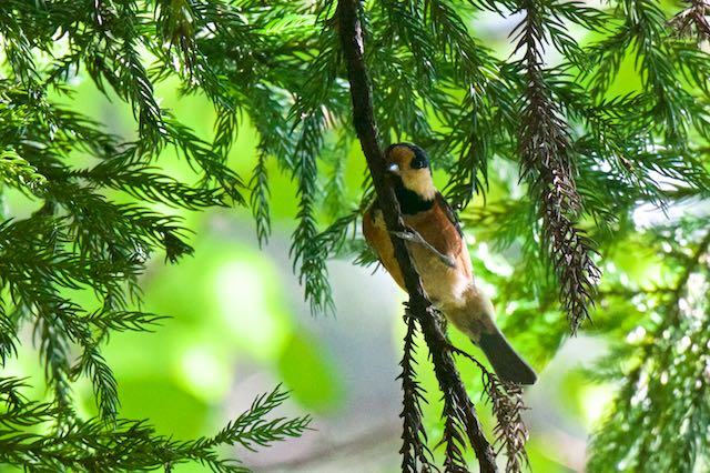 瀬上市民の森 杉で採食していたヤマガラ _DSC5925.jpg