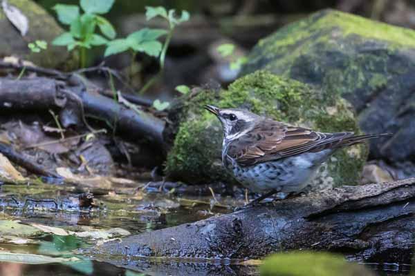 瀬上市民の森 水を飲むツグミ _DSC5307.jpg