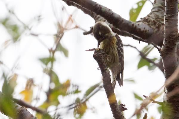 瀬上市民の森 舌を伸ばし採食するコゲラ _DSC0058.jpg