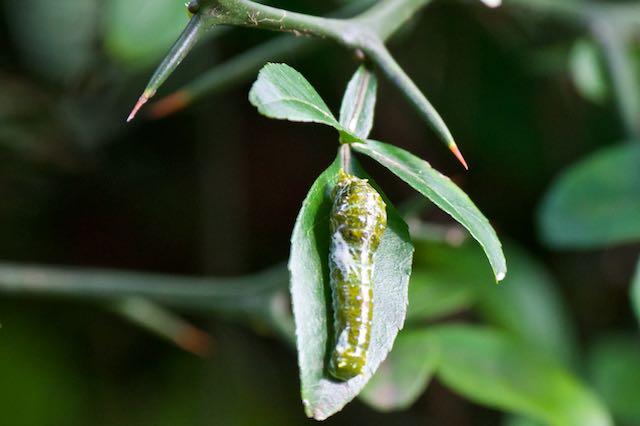 舞岡公園 からたちの葉を食べて育ったナガサキアゲハ幼虫 _DSC5618.jpg