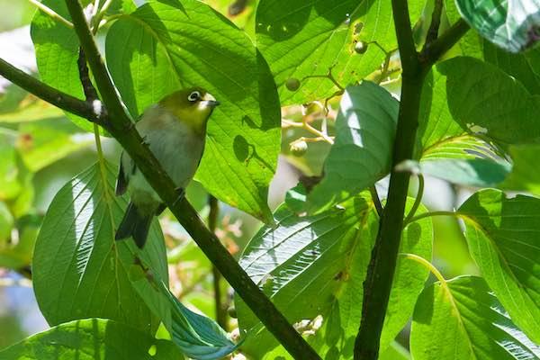 舞岡公園 クマノミズキの枝に止まるメジロ _DSC9068.jpg