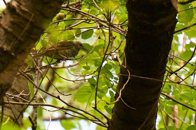舞岡公園 前田の丘の雑木林で4羽見られたヒヨドリ _DSC5680.jpg