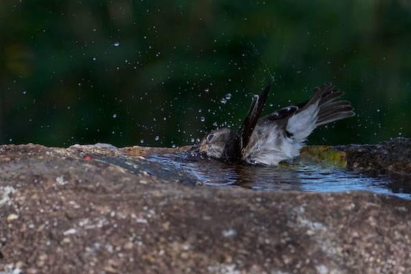 舞岡公園 水浴びするエゾビタキ1 _DSC9286.jpg