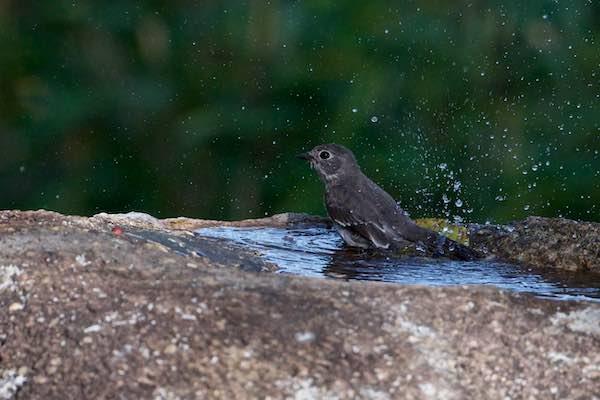 舞岡公園 水浴びするエゾビタキ2 _DSC9277.jpg