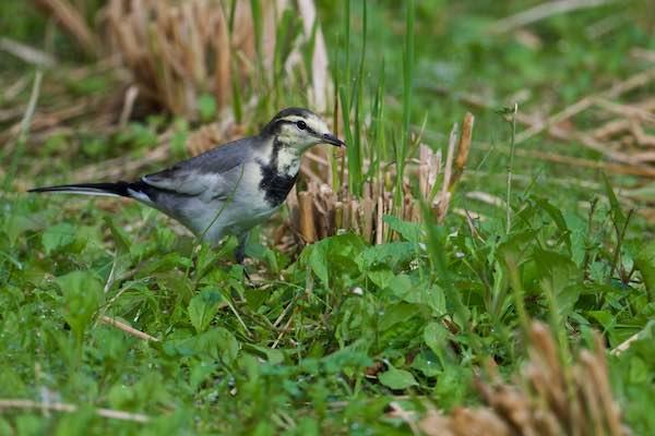 裏山 田圃で幼虫を食べるハクセキレイ1 _DSC0371.jpg