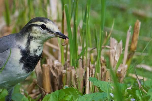 裏山 田圃で幼虫を食べるハクセキレイ2 _DSC0371 (1).jpg