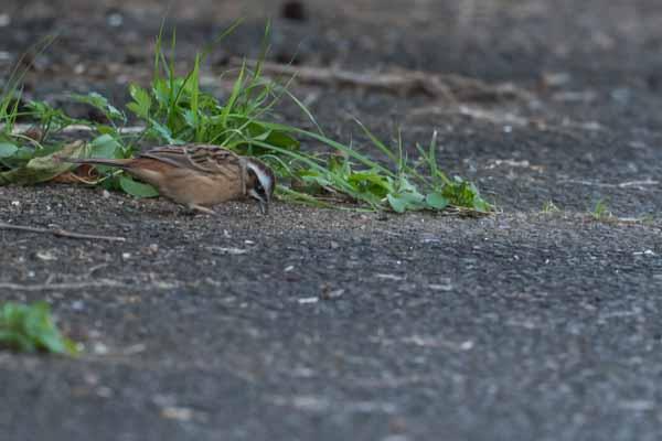 裏山 道路で採食するホオジロ♀ _DSC4752.jpg