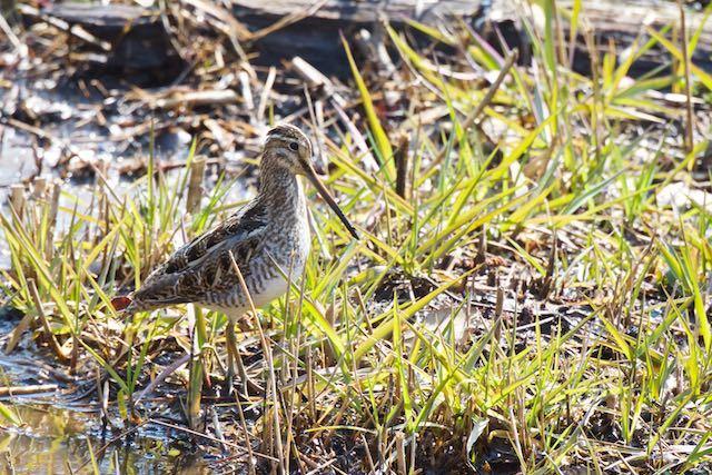 舞岡公園 湿地で採食していたタシギ _DSC3175.jpg